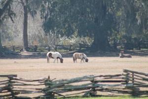 Ponies at Magnolia Gardens.
