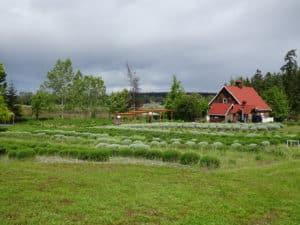 Sequim lavender farm.