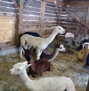 Sheared Llamas at the Fryeburg Fair.