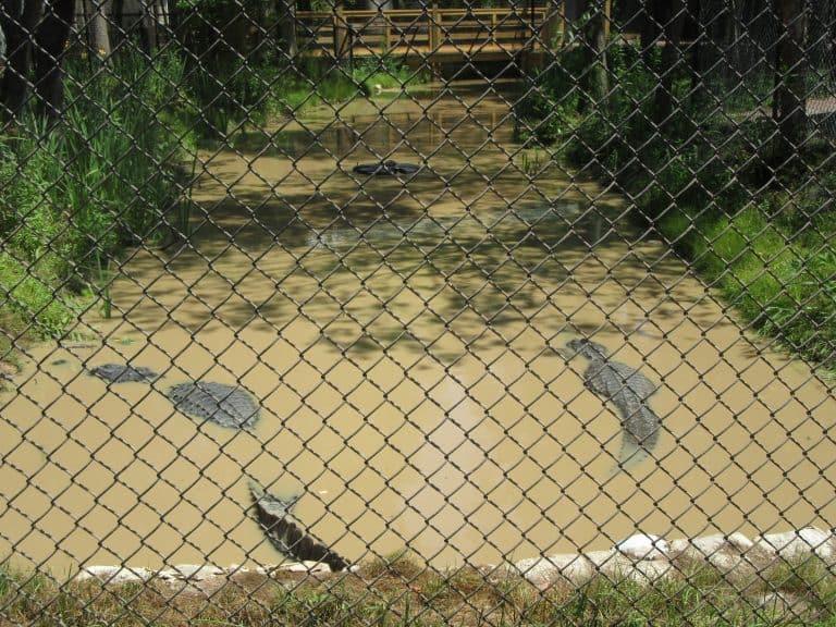 Alligators at Cypress Gardens